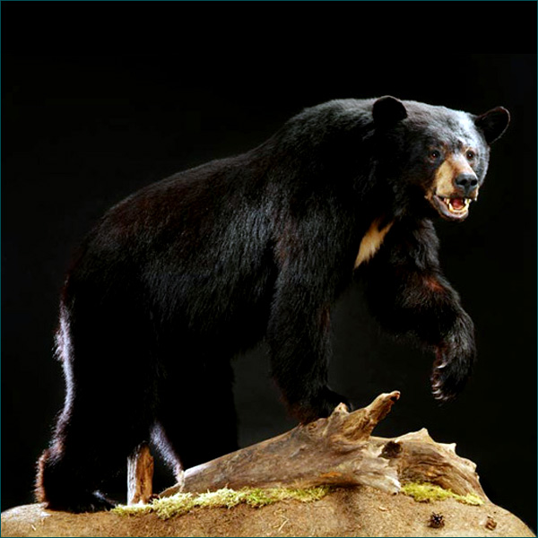 2aebbdcf8 North America animal gallery featuring various trophy mountsFirst ...